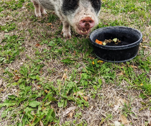pot-bellied-pig-Pearl