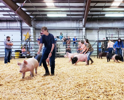 swine showing