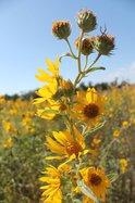 MaximillianSunflowers